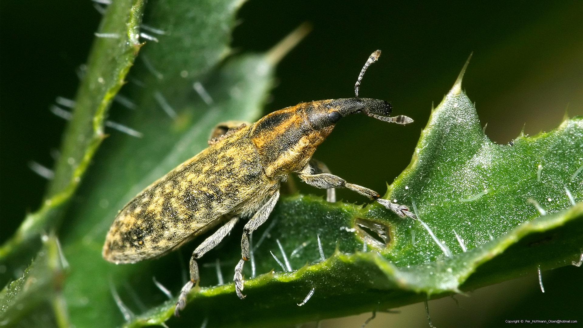 Lixus (Epimeces) cf. filiformis