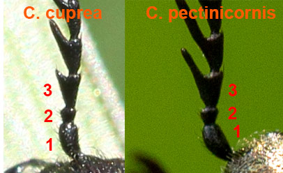 Ctenicera_cuprea_compared.jpg