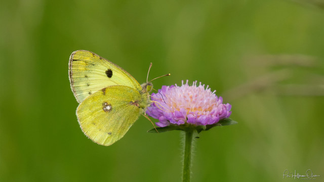 Colias cf. hyale